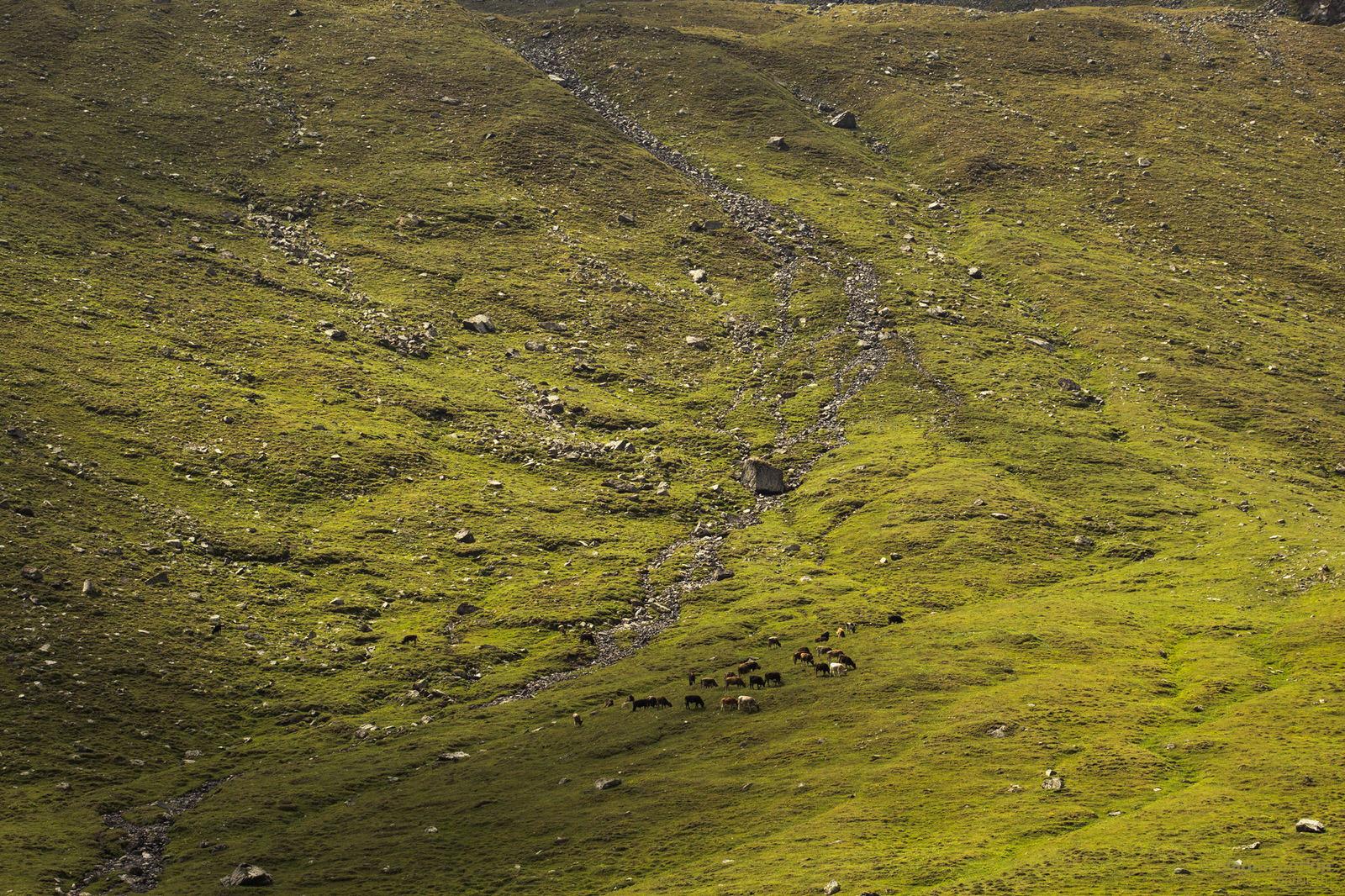 коровы на склоне горы