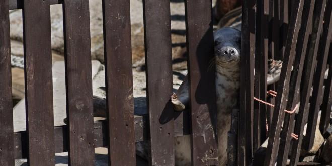 В Польше тюлени грустные